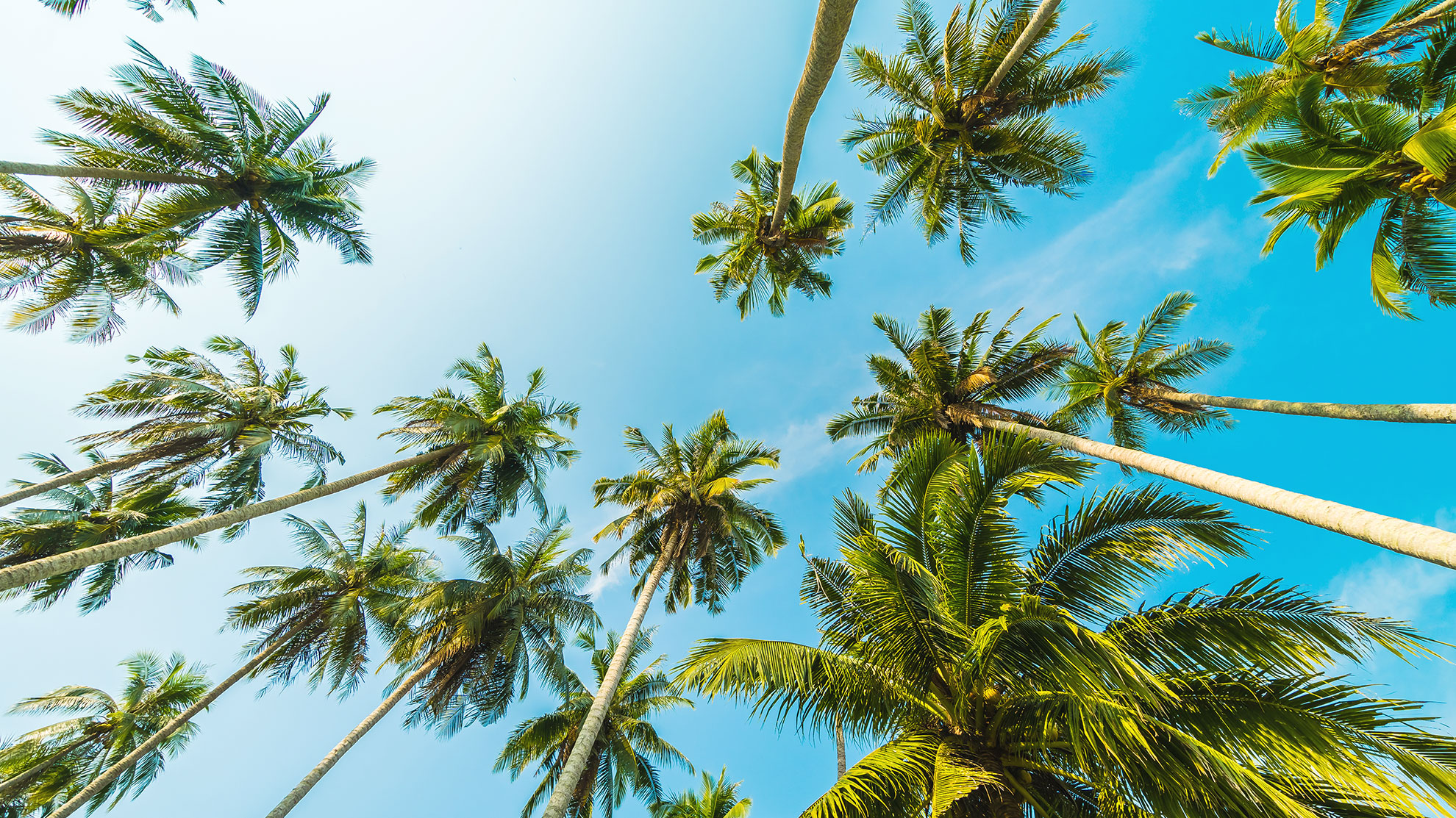COCOOIL Coconut Trees